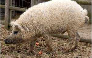 Cochons Laineux une nouvelle race de cochons bio, en roumanie :: roumanie